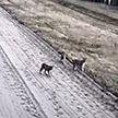 На белорусско-литовской границе детеныши рыси играют прямо на контрольно-следовой полосе
