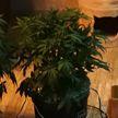 Айтишник выращивал коноплю в подвале под Минском