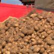 Картошечка к картошке: убирают овощи и подсчитывают урожайность по всей Беларуси