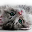 Котенок изо всех сил пищал в ухо хозяину, чтобы разбудить его, и рассмешил всех (ВИДЕО)