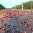 Нашествие крабов во Флориде: сотни ракообразных ползут по дорогам (ВИДЕО)
