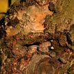 Рак плодовых деревьев: что делать, чтобы его не допустить?