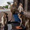 Голодные обезьяны в Таиланде терроризируют население: громят магазины, воруют еду, нападают на прохожих