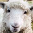 Воры с дрессированными собаками похитили около 200 овец в Британии