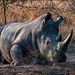 Носорог разбил машину работницы парка в Германии, пока та была внутри (ВИДЕО)