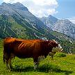С рогами коровы или без? В Швейцарии пройдёт всенародный референдум