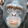 Побег шимпанзе из зоопарка попал на видео