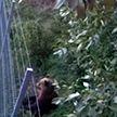 Медведь пытался пересечь белорусско-литовскую границу, но наткнулся на забор