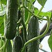 Есть товар, но нет дохода: тепличные хозяйства терпят убытки. Как помочь?