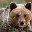 «Какое хладнокровие!»: итальянский подросток встретил медведя и не растерялся. Посмотрите на его реакцию