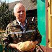 Небывалый урожай: житель Барановичей вырастил картофель весом в 1,5 кг