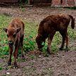 Зубрята-близнецы появились на свет в Минском зоопарке