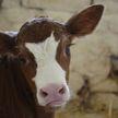 Во благо экологии: в Германии коров начали приучать пользоваться туалетом