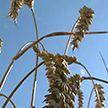 Уборочная кампания-2020: как идет жатва в Витебской области