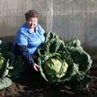 Гигантскую капусту вырастила пенсионерка в Верхнедвинске