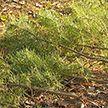 Работники автопарка выкопали в лесу более 280 сосен