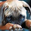 «Разве можно такую милоту наказывать?»: провинившийся пес спрятался от хозяина и растрогал сеть