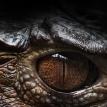 Аллигатор съел таксу на глазах у ее хозяйки