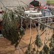 Лаборатория по изготовлению марихуаны обнаружена под Брестом