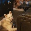 «Был бы у меня такой пес...» Канадец надрессировал хаски приносить пиво из холодильника (ВИДЕО)
