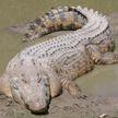 Пес погиб в зубах крокодила на глазах потрясенного хозяина