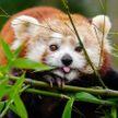 Красная панда решила сменить обстановку зоопарка и задумала уехать в неизвестность на туристическом автобусе (ВИДЕО)