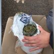 Пинчанин с трехлитровой банкой высушенной марихуаны задержан в Минском районе