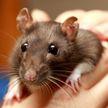 Женщина умерла от укуса любимой крысы