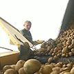В Витебской области готовы выпустить первый белорусский картофель фри