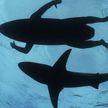 Сёрфер поймал волну и угодил прямо в пасть акулы (ВИДЕО)