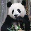 В Китае заявили, что панды больше не находятся под угрозой исчезновения
