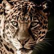 Кот свалился в колодец вместе с леопардом и дал ему отпор