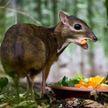 Крошечных мышиных оленей обнаружили во Вьетнаме