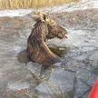 Лось провалился под лед в Городокском районе