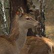 В лесхоз Кобринского района завезли благородных оленей