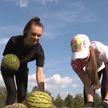 Лукашенко показал урожай арбузов, выросший на его огороде
