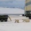 Голодные белые медведи преследовали военный грузовик в Якутии