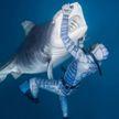 Видеофакт: храбрый дайвер ввёл в транс опаснейшую тигровую акулу