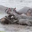 Стадо бегемотов спасло антилопу гну от двух крокодилов
