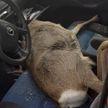 ДТП с участием косули:  удар автомобиля для животного оказался смертельным