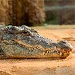 Крокодил целиком съел восьмилетнего мальчика в Индонезии