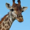 Турист серьезно пострадал в аварии с участием жирафа в ЮАР