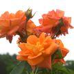 В Ботаническом саду зацвели декоративные розы
