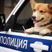 Единственный в России полицейский-корги ушел на пенсию