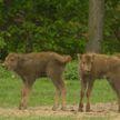 Редкий случай: зубрята-близнецы родились в Могилёвском зоосаде
