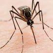 Комары-переносчики вируса Зика появились в Крыму