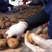 В Беларуси завершается уборка картофеля