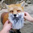 Деревня лис в Японии – одно из самых милых мест на планете. Это нужно видеть!
