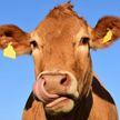 Корова в Испании показала туристам дорогу и попала на видео