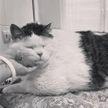 Скончался самый толстый кот Беларуси по кличке Перышко